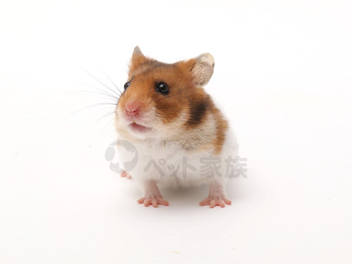 ゴールデンハムスター | 小動物の紹介 | ペット家族 公式サイト