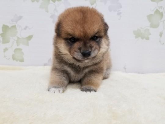 豆柴犬×柴犬