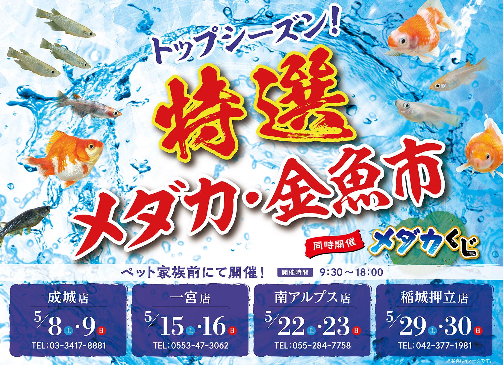 トップシーズン!特選メダカ・金魚市