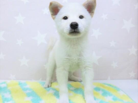 柴犬(2021.5.25現在)