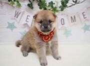 ポメラニアン×柴犬(2021.09.16現在)